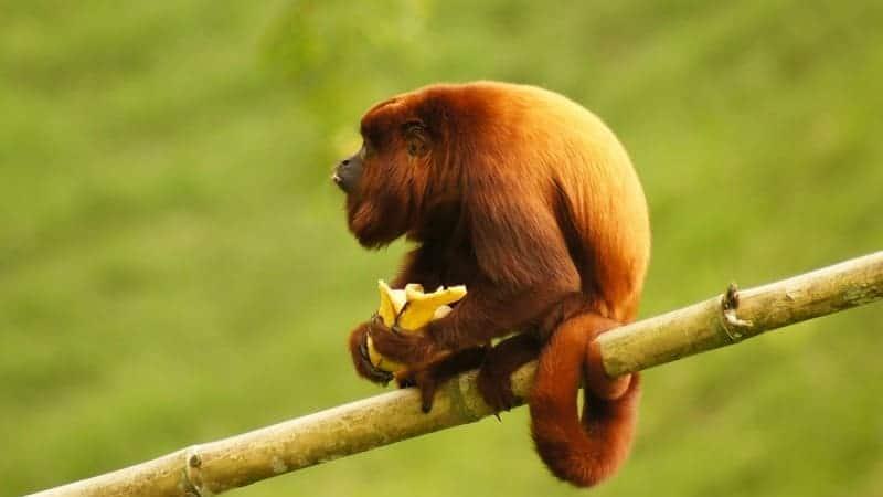 En Costa Rica podrás ver monos aulladores.