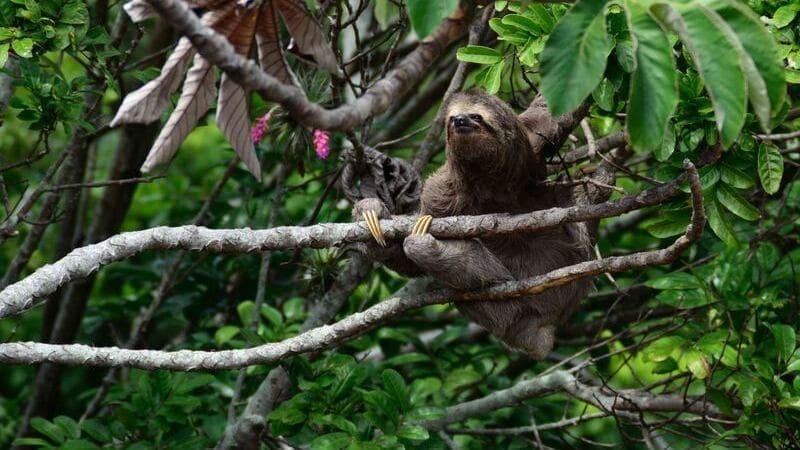 Costa Rica es el hogar de los osos perezosos.