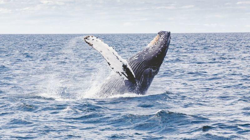En el océano Pacífico de Costa Rica puedes ver la migración de las ballenas.