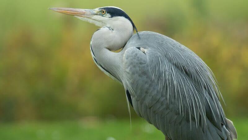 La garza es una de las muchas aves que podrás ver en el Parque Nacional Palo verde.