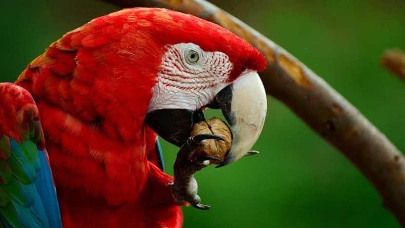 El guacamayo rojo es un animal muy exótica.