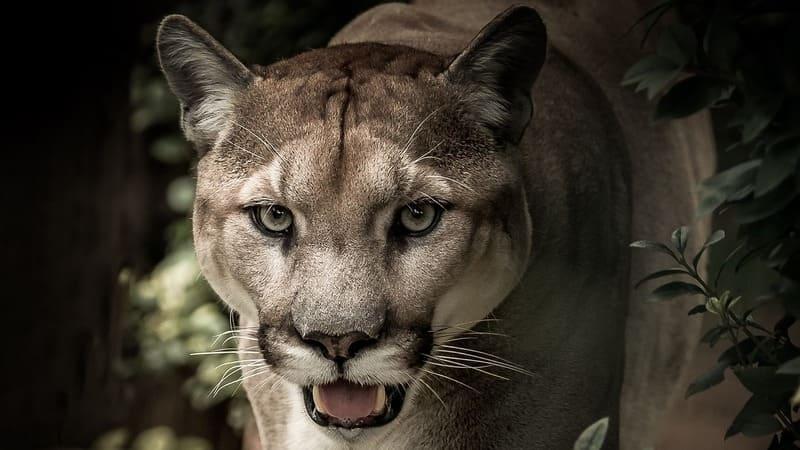 En los parques nacionales de Costa Rica podrás ver grandes felinos como el puma.