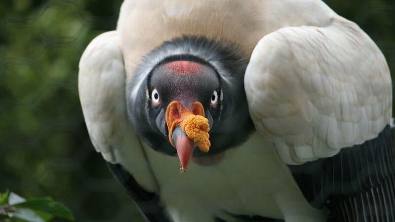 El zopilote rey es un ave que se puede ver en países de Centro America como Costa Rica.