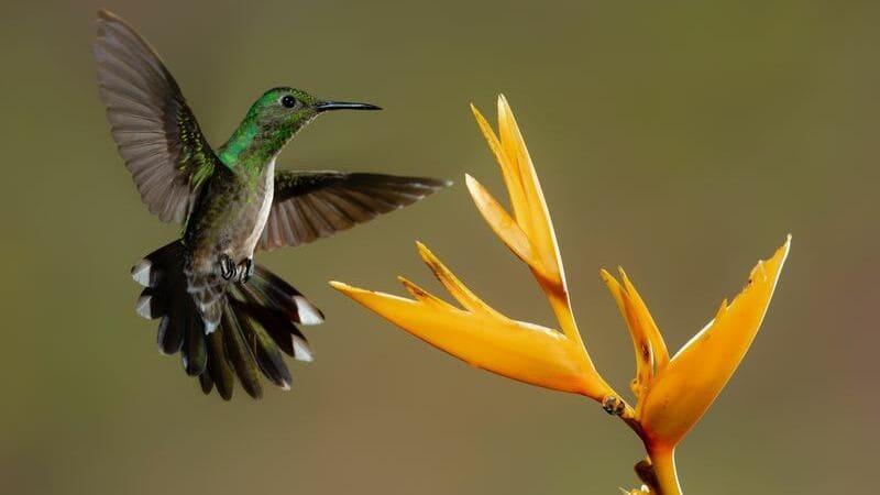 Costa Rica es uno de los mejores lugares del mundo para ver colibríes.