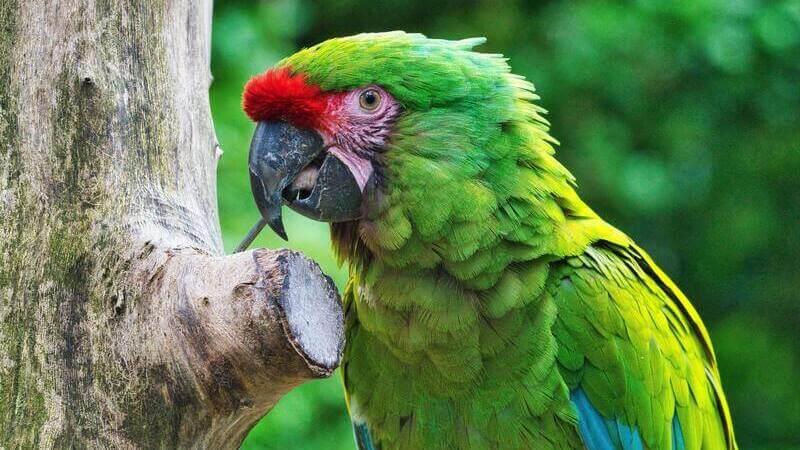 En la costa del Caribe de Costa Rica podrás ver guacamayas verdes.